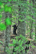 Black Bear Climbing Tree Posters - Baby black bear cub climbing tree Poster by Dan Friend