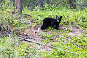Black Bear Art - Baby Black Bear by Ian Stotesbury