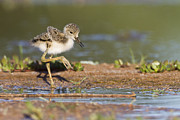 Bryan Keil - Baby Black-necked Stilt...