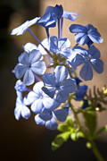 Blue Flowers Photos - Baby Blues  by Saija  Lehtonen