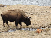 Yellowstone Mixed Media - Baby Buffalo With Mother - Yellowstone National Park by Photography Moments - Sandi