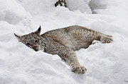 White Thick Fur Prints - Baby Canadian Lynx Laying in the Snow Print by Inspired Nature Photography By Shelley Myke