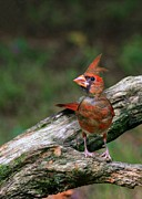 Baby Bird Photos - Baby Cardinal by Sabrina L Ryan