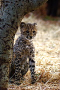 Cheetah Photo Originals - Baby Cheetah by Marc Levine