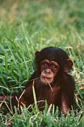 Mark Newman - Baby Chimpanzee
