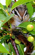 Chipmunk Photograph Posters - Baby Chipmunk II Poster by Barbara Chichester