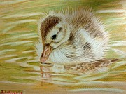 Baby Bird Drawings Framed Prints - Baby Duck on Pond Framed Print by Sara DeForge