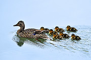 Mallard Ducklings Photos - Baby Ducks Follow by Lula Adams