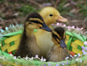 Indiana Photography Prints - Baby Ducks Print by Sandy Keeton