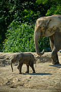 Pittsburgh Zoo Prints - Baby Elephant Born at Pittsburgh Zoo Print by Amy Cicconi