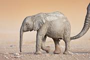 Baby Elephant  Print by Johan Swanepoel