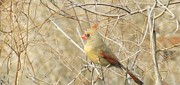 Bird On Tree Prints - Baby Female Cardinal Print by Brenda Brown
