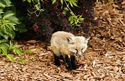 Marilyn Hunt - Baby Fox Kit