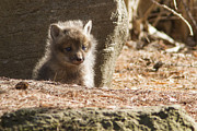 Mircea Costina Photography - Baby Fox