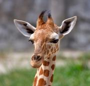 Baby Animals Photos - Baby Giraffe by Louise Heusinkveld