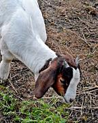 Jeff McJunkin - Baby Goat