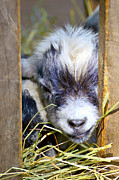 Kid Photo Originals - Baby goat by Tommy Hammarsten