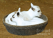 Sleeping Baby Animal Posters - Baby Goats Lying In Food Pan Poster by Millard H. Sharp