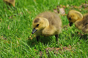 Baby Bird Posters - Baby Goose Too Cute Poster by Paul Ward