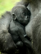 Jason Neely Acrylic Prints - Baby Gorilla Acrylic Print by Jason Neely