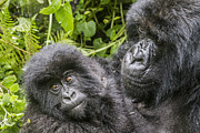 Ape Photo Originals - Baby gorilla by Luigi De Pompeis
