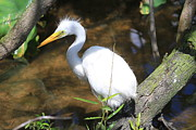 Ken Keener - Baby Great Egret