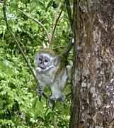 Jennifer Lamanca Kaufman - Baby Green Monkey swinging in a tree