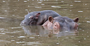 Hippopotamus Photo Posters - Baby Hippo Hitches a Ride Poster by Carol Walker