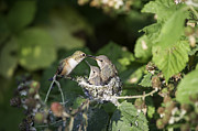Twisp Photo Prints - Baby humming birds Print by Frank Pali