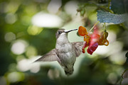Dan Friend - Baby hummingbird near flower