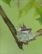 Behm Pyrography Framed Prints - Baby Hummingbirds Framed Print by Daniel Behm