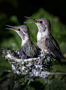 Twisp Photo Prints - Baby Hummingbirds Print by Frank Pali