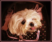 Maltese Dog Posters - Baby In A Bag Maltese Puppy Poster by Margaret Newcomb