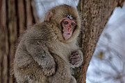 Natural Focal Point Photography - Baby Japanese Macaque