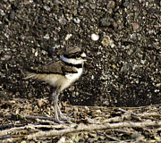 Killdeer Metal Prints - Baby Killdeer 1 Metal Print by Thomas Young