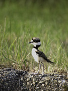 Killdeer Metal Prints - Baby Killdeer 2 Metal Print by Thomas Young