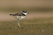 Killdeer Photos - Baby Killdeer by Bryan Keil