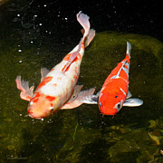 Susan Wiedmann - Baby Koi Makes An...