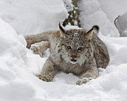 Kitten Prints Posters - Baby Lynx in a Winter Snow Storm Poster by Inspired Nature Photography By Shelley Myke