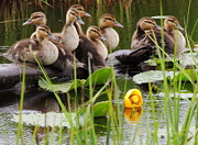 Baby Mallards Photo Posters - Baby Mallard Poster by Karen Horn