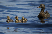 Baby Mallards Posters - Baby Mallards and Mother Poster by Greg Vizzi