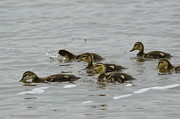 Baby Mallards Photo Posters - Baby Mallards Poster by Robert Smice