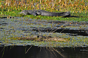 American Alligator Prints - Baby Mama Print by Al Powell Photography USA