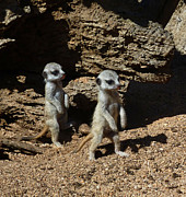 Meerkat Posters - Baby Meerkats Exploring Their World Poster by Margaret Saheed