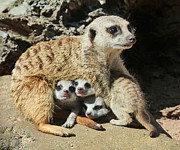 Margaret Saheed Prints - Baby Meerkats View The world Print by Margaret Saheed
