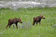 Bruce Gourley - Baby Moose On the Banks...