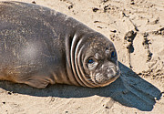 Baby Northern Elephant Seals Mirounga Angustirostris At The Piedras Blancas Beach Print by Jamie Pham