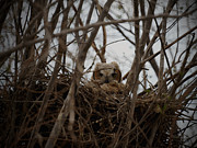 Owlet Photos - Baby Owl by Ernie Echols