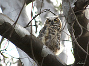 Diana Haronis Prints - Baby Owl in Tree Print by Diana Haronis