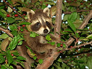 Peterson Nature Photography Posters - Baby Raccoon Poster by Melissa Peterson